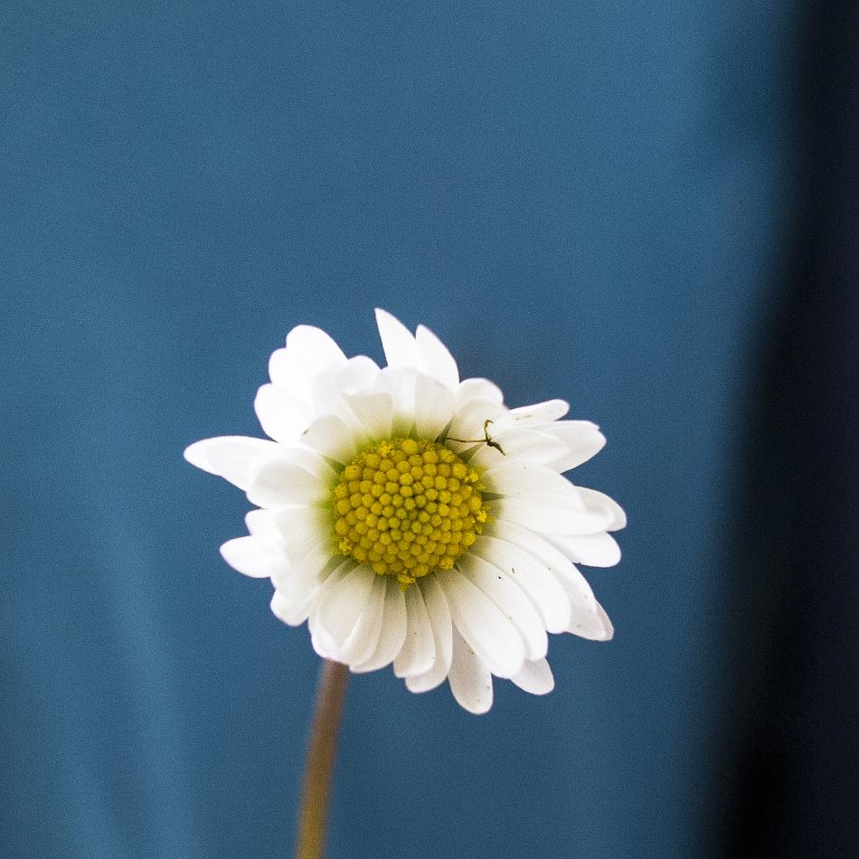 Diese Blüte wurde mit einer längeren Brennweite bei niedriger Blendenzahl fotografiert. Die Schärfentiefe ist deshalb sehr klein.