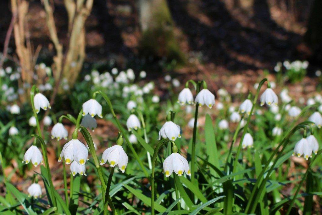Das Fotografieren von Frühlingsblumen muss nicht nur Makrofotos der einzelnen Blüten oder Sträuße bedeuten. Zeigen Sie die Blüten in ihrem natürlichen Umfeld. Knotenblumen, am 9. 3. 2014. Canon EOS 100D, Objektiv EF-S 18-55, 1/80 s, F6.0, Kompensation EV −1/3, ISO100, Brennweite (EQ35) 50 mm.