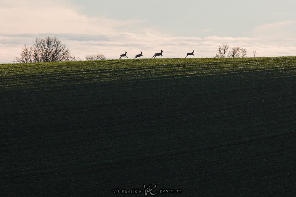 Landschaftsaufnahmen mit dem Teleobjektiv: das Wild wollte sichtlich hinter dem Horizont verschwinden – daher konnte ich die Komposition bereits im Vorfeld vorbereiten.