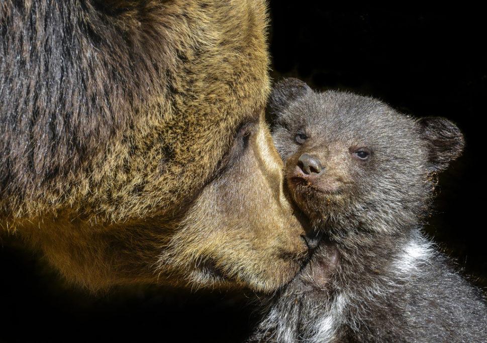 Tiere im Zoo fotografieren: die Bärenmutter.