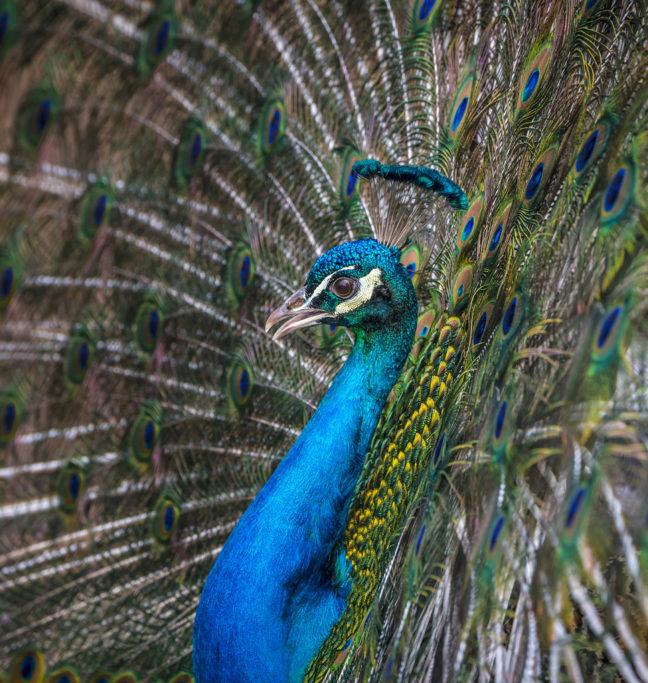 Tiere im Zoo fotografieren: der Pfau.