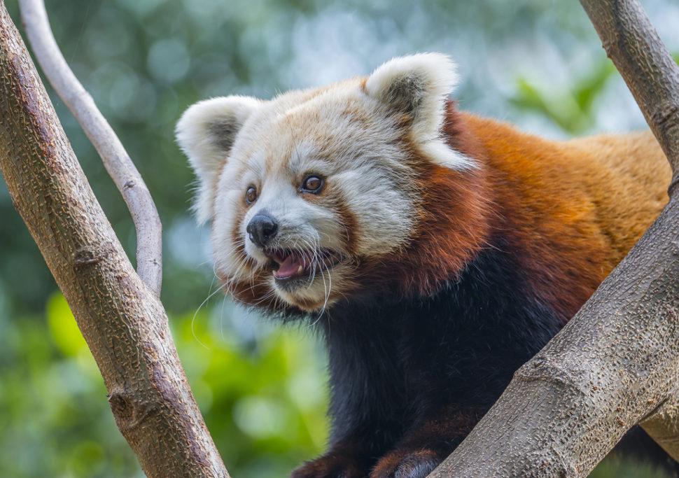 Tiere im Zoo fotografieren: der roter Panda.