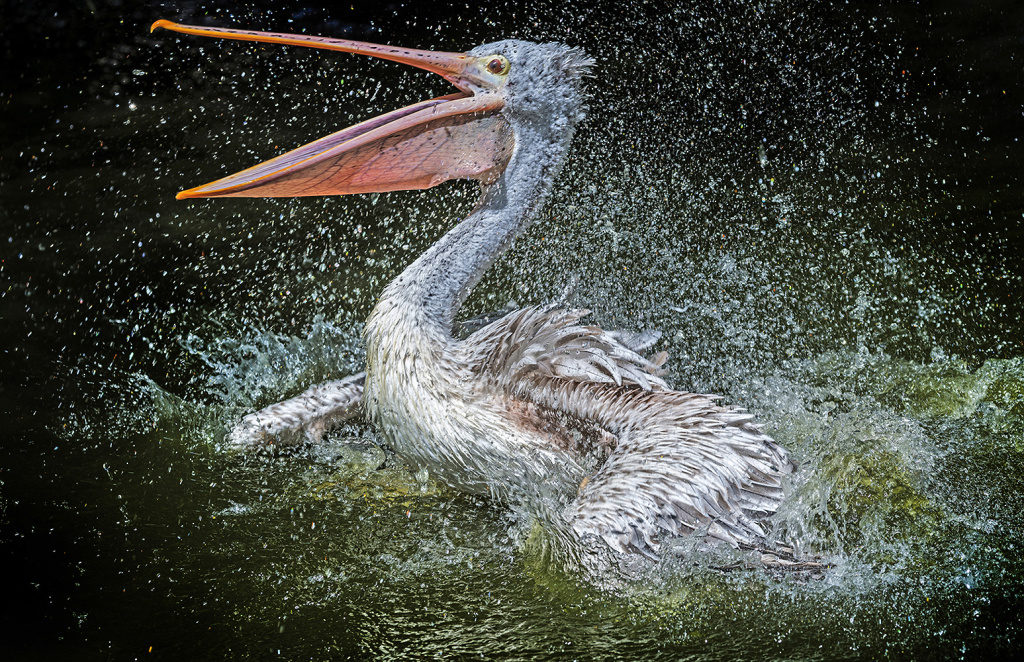 Tiere im Zoo fotografieren: ein badender Pelikan.