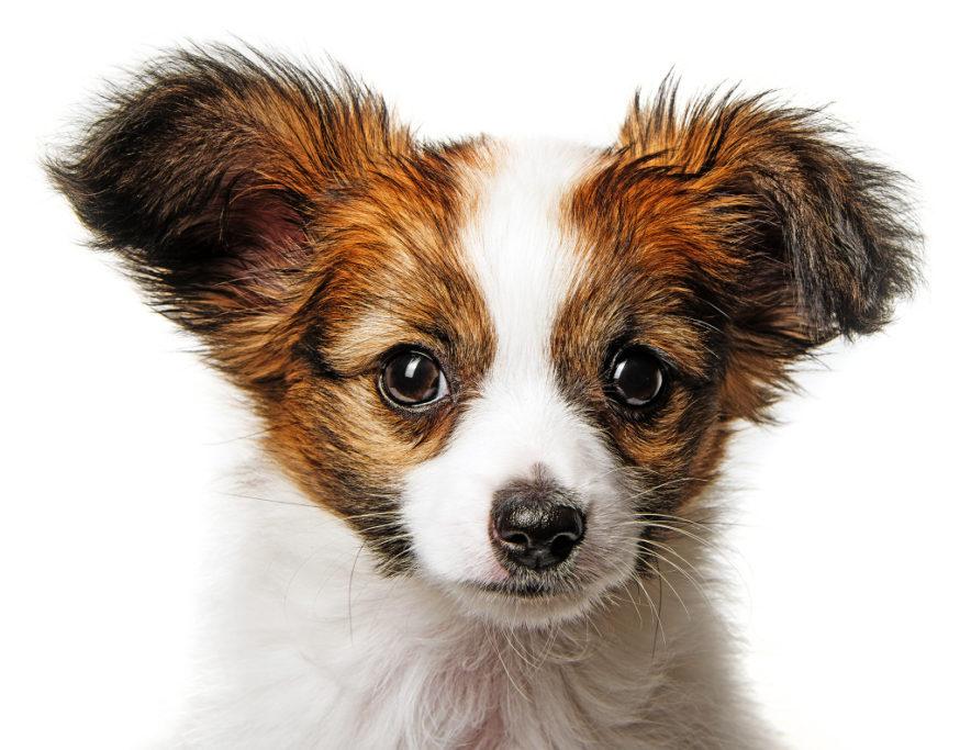 Hunde fotografieren: Für das Fotografieren des Welpens habe ich einen weißen Hintergrund gewählt.