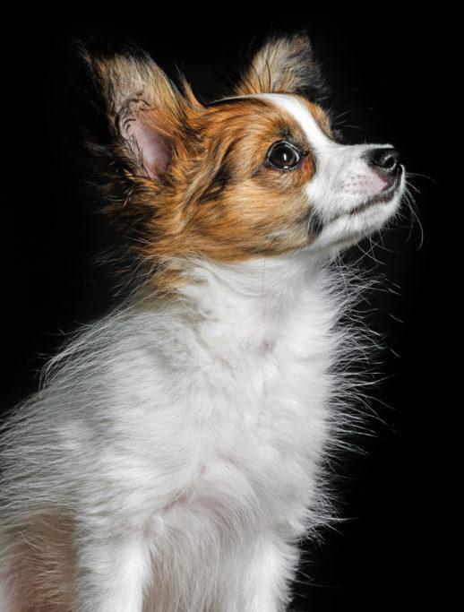 Hunde fotografieren: Sehr wirkungsvoll ist auch ein schwarzer Hintergrund.