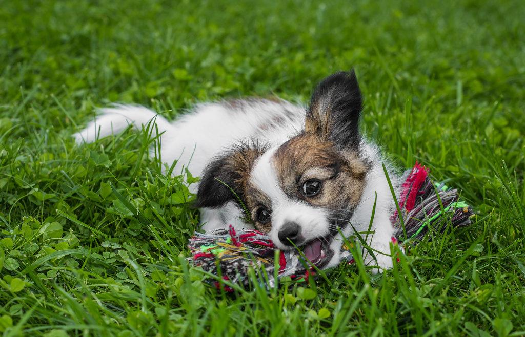 Hunde fotografieren: Sie können dem Hund während des Fotografierens auch ein Spielzeug geben.