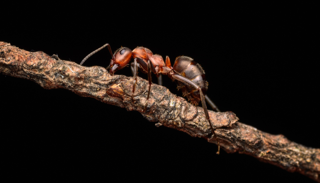Wie fotografiert man Makros in der Natur - die Ameise