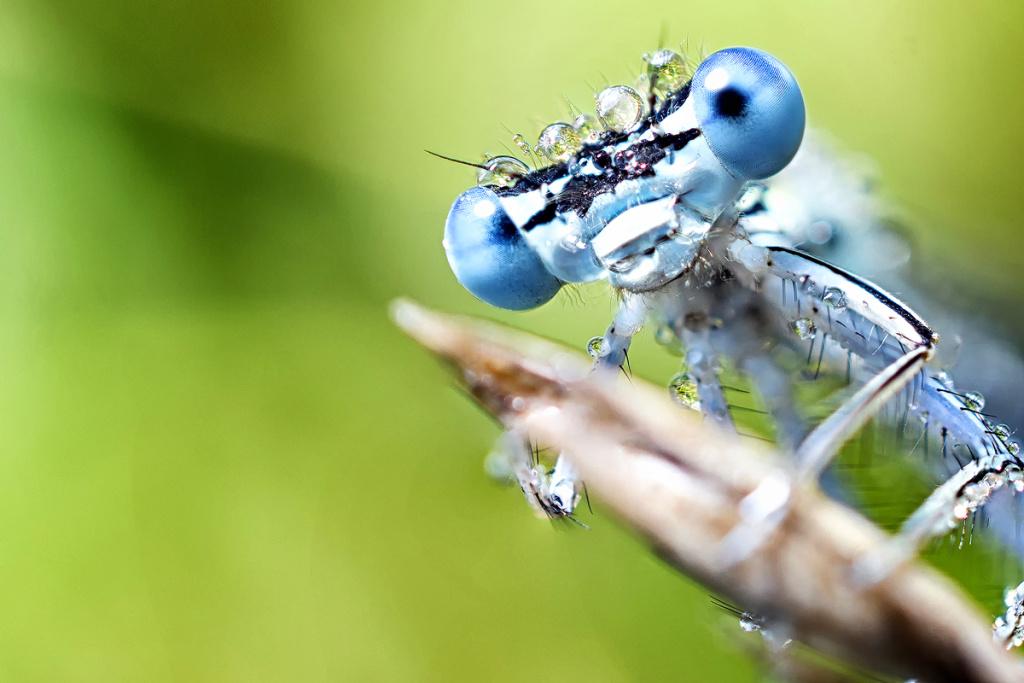 Wie fotografiert man Makros in der Natur - die Libelle