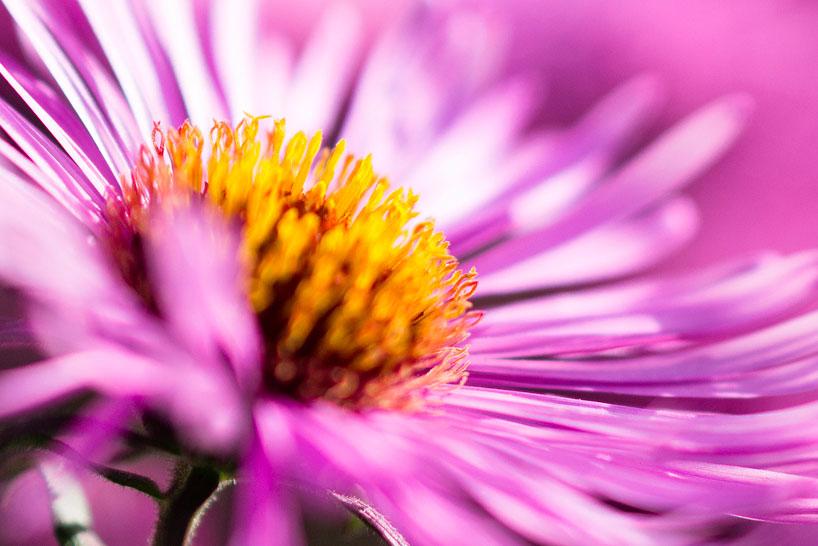 Makro oder Close up: Makroaufnahme einer Blume, bei der die Stempel der Blume erfasst werden.