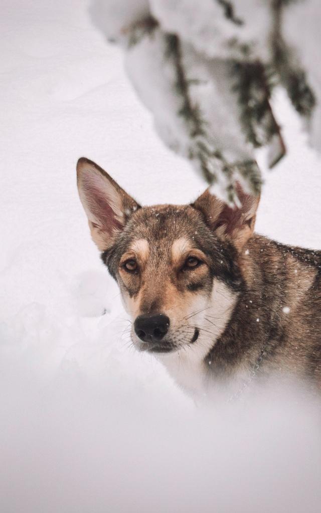 Wie man Hunde fotografiert - Arista, Schnee