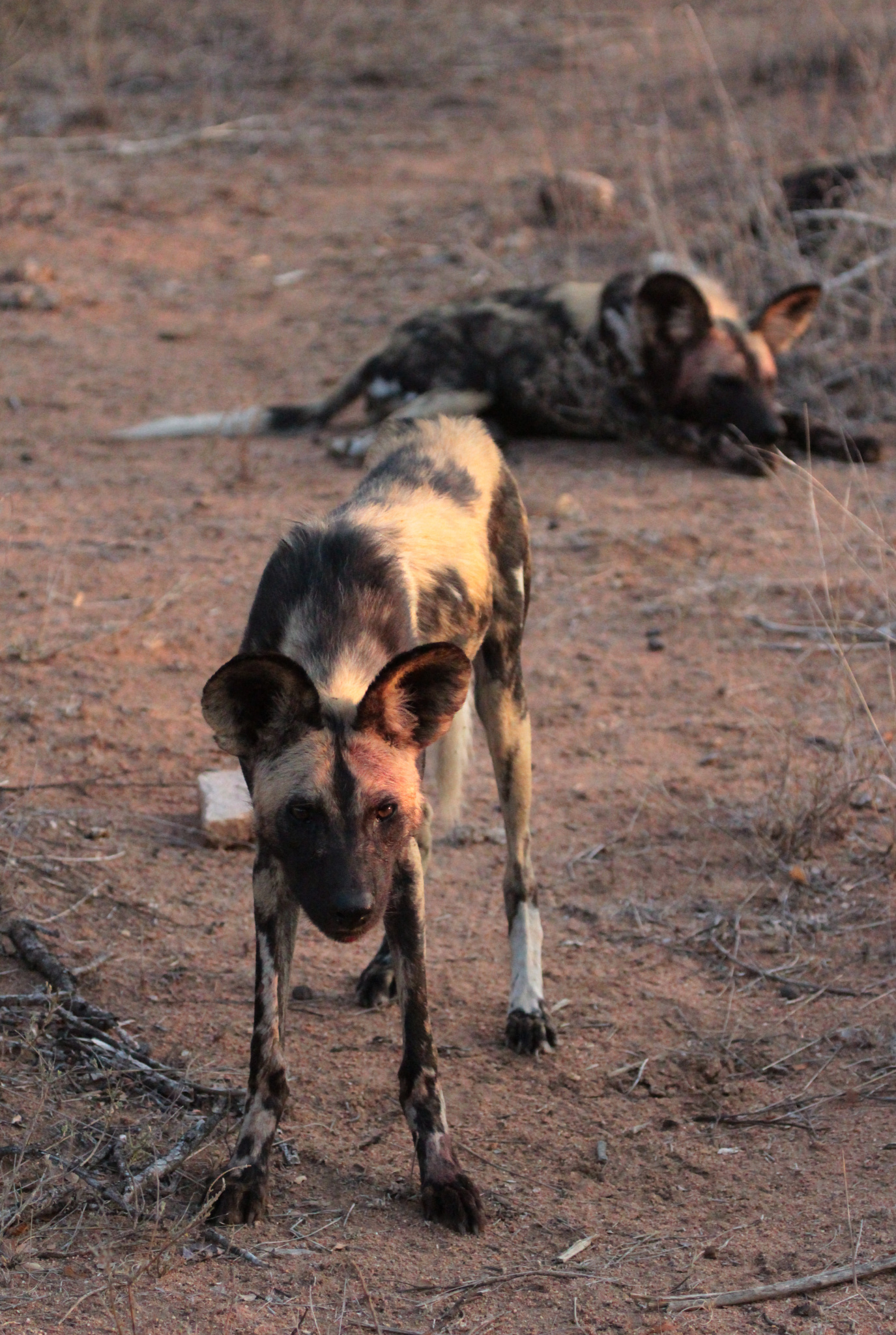 Fotoexpedition zu den afrikanischen Wildhunden - die schwer fassbaren Schatten Afrikas