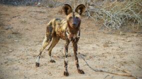 Fotoexpedition zu den afrikanischen Wildhunden – die schwer fassbaren Schatten Afrikas