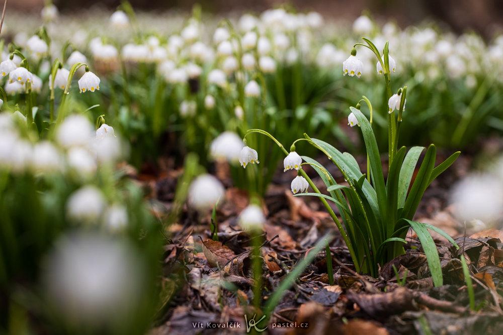 Fotografieren der ersten Frühlingsblumen